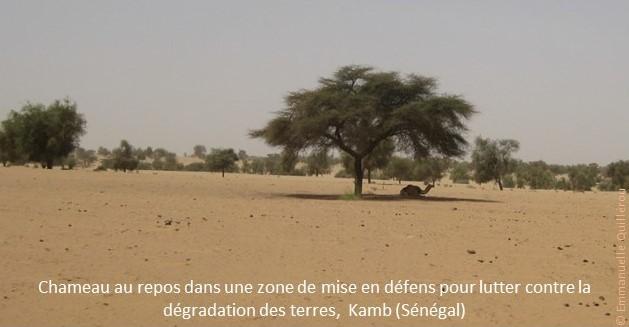 Chameau au repos dans une zone de mise en défens pour lutter contre la dégradation des terres, Kamb (Sénégal)